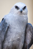 Mississippi Kite. A Mississippi Kite perching for a portrait Royalty Free Stock Images