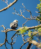 Mississippi Kite in Tree Bird royalty free stock photo