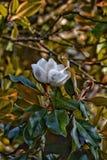 Mississippi-Magnolienblumenblüte auf Baum stockfoto