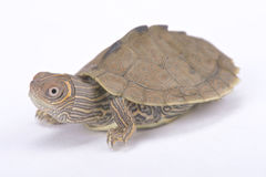Mississippi map turtle, Graptemys pseudogeographica kohni. The Mississippi map turtle, Graptemys pseudogeographica kohni, is a beautiful turtle species found in Stock Photos