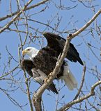Mississippi River Bald Eagle. Bald Eagle at Mississippi River Lock and Damn 14. Taking flight from the trees over the river stock image