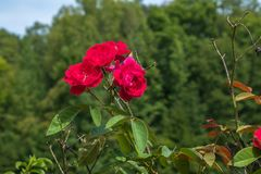 Red Rosebush On A Bokeh Woodland Background. Royalty Free Stock Photography