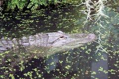 Mississippialligator Stock Photography