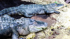 The Mississippian Alligator Royalty Free Stock Images
