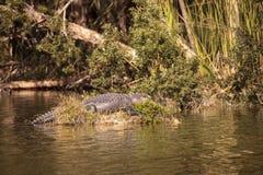Mississippiensis аллигатора американского аллигатора греет на солнце на s Стоковые Фото