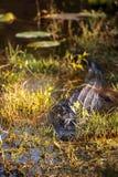 Mississippiensis аллигатора американского аллигатора Стоковые Фото