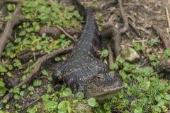 Mississippiensis аллигатора американского аллигатора Стоковая Фотография