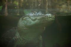 Mississippiensis аллигатора американского аллигатора Стоковые Фотографии RF