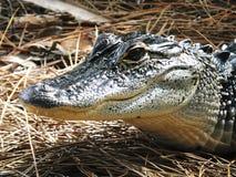 Mississippiensis аллигатора американского аллигатора Стоковое Изображение