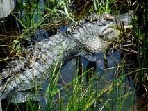 Mississippiensis аллигатора американского аллигатора Стоковые Изображения