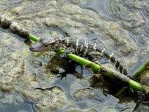 Mississippiensis аллигатора американского аллигатора Стоковое Фото