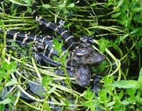 Mississippiensis аллигатора американского аллигатора Стоковые Изображения RF