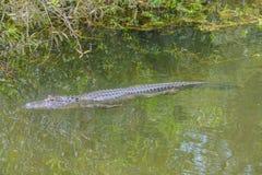 Mississippiensis в Largo, Флорида аллигатора американского аллигатора Стоковая Фотография RF