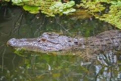 Mississippiensis в Largo, Флорида аллигатора американского аллигатора Стоковая Фотография