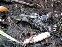 Mississippiensis del cocodrilo americano o del cocodrilo fotos de archivo