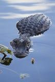 Mississippiensis del cocodrilo del cocodrilo americano Fotografía de archivo