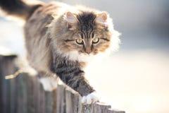 Missmodig ung katt som går på ett staket i vinter arkivbilder