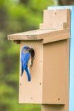 Missouri blue bird Royalty Free Stock Image