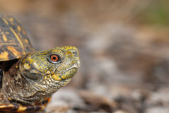 Missouri Box Turtle Stock Photo