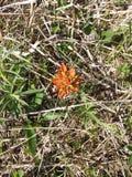 Missouri Dziki kwiat zdjęcia stock