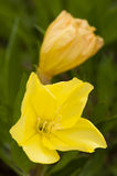 Missouri evening primrose, Oenothera macrocarpa Stock Photos