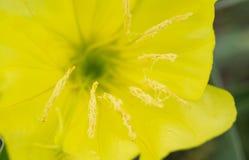 Missouri Evening Primrose wildflower macro Stock Photo