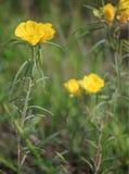 Missouri Evening Primroses. A vertical image of the wildflower Missouri Evening Primrose, Oenothera macrocarpa (formerly Oenothera missouriensis stock photo