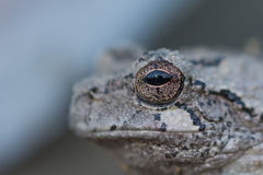 Missouri Gray tree frog close up of eye. Hyla Chrysoselis - Gray Tree frog.  Macro shot of eye Royalty Free Stock Photography