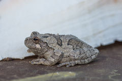 Missouri gray tree frog hyla chrysoscelis. Gray tree frog sits on the ground waiting for prey Stock Image
