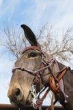 Missouri mula, tygel, equestraine Arkivfoto