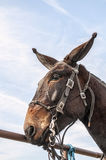 Missouri mule,bridle,equestraine Stock Photos