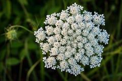 Missouri Wildflower fotografia royalty free