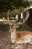 Misstänksam i träda fullvuxen hankronhjort på Dunham Massey, Cheshire Royaltyfria Bilder