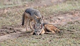 misstänksama jackals Royaltyfria Foton