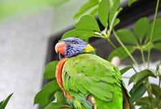 misstänksam papegoja Arkivbilder
