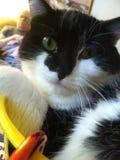 Missy. Cat, cute, lazy Stock Photography