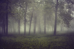 Into the Mist. Early monring fog drifting through the forest Royalty Free Stock Images