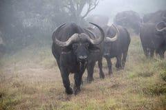 Mist Buffalo Royalty Free Stock Photos