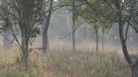 Mist in a calm autumn forest stock video