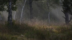 Mist in a calm autumn forest stock footage