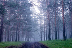 Mist in coniferous forest after the rain at dawn Royalty Free Stock Photography