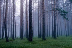 Mist in coniferous forest after the rain at dawn Stock Photos