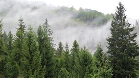 Mist among coniferous trees stock video footage
