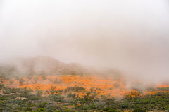 Mist covering large fields of orange daisies at Skilpad Royalty Free Stock Images