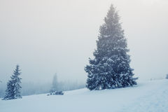 Mist covers the huge fir trees - the beginning of a snow storm Royalty Free Stock Photography