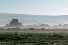 Mist and Cows. Misty morning looking towards South Downs with cows grazing in meadow Royalty Free Stock Photo