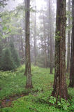 Mist in the forest Stock Photography
