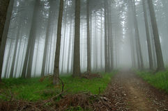 Mist in the forest. Forest lumberjack road disapperaing in the mist. Tall spruce trees Royalty Free Stock Photos