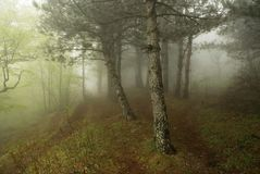 Mist in the forest. Mist in the pine forest Royalty Free Stock Photos
