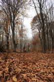 Mist in forest. Autumn forest with fog among trees and a lot of fallen leaves Stock Image